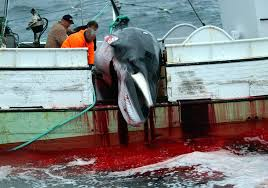 A minke whale being slaughtered on a whaling vessel in Iceland